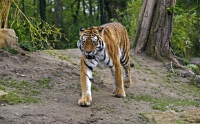 Картинка кошка, тигр, амурский