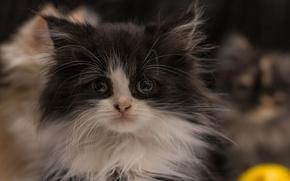 Картинка пушистый, котёнок, лохматый
