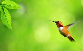 Обои зелень, полет, листок, колибри