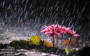 Картинка цветы, озеро, дождь, водяные лилии