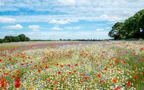 Картинка лето, цветы, луг, раздолье