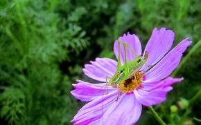 Картинка макро, Цветок, насекомое, flowers, macro, purple, Космея, bug, Kosmeya