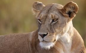 Картинка портрет, хищник, львица, дикая кошка