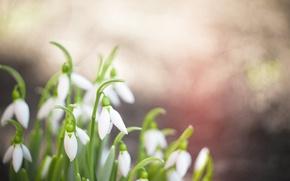 Картинка листья, зеленый, фон, обои, весна, подснежники, широкоформатные, wallpapers, белые цветы