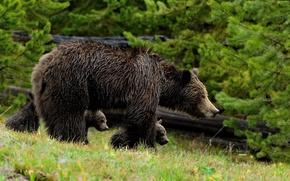 Картинка прогулка, медвежата, гризли, медведица, материнство