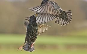 Картинка птицы, сражение, в воздухе, скворцы