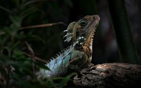 Обои ящерица, рептилия, австралийский лесной дракон, Hypsilurus boydi