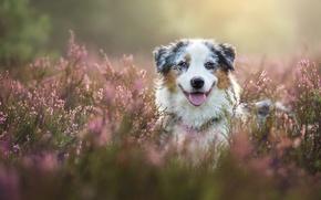 Картинка морда, собака, Австралийская овчарка, вереск, Аусси