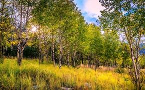 Картинка осень, лес, трава, березы, роща, лучи солнца