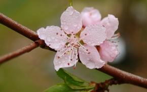 Картинка макро, ветка, цветок, свежесть, лепестки, цветение, роса, розовые, весна, капли