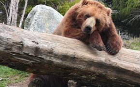 Картинка отдых, медведь, бревно, bear, brown, бурый, природа.