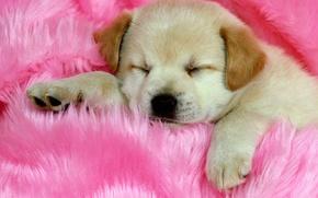 Обои Щенок, милый, спит, розовый