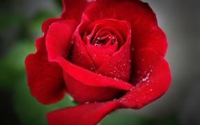 Картинка цветок, капли, макро, роза, красная, Flower, red rose, macro, боке, bokeh, drops