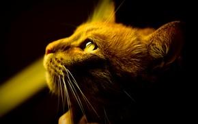 Обои кошка, усы, свет, фон, рыжий, обои, тень, шерсть, глаза, кот