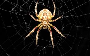 Обои паутина, паук
