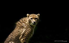 Картинка тёмный фон, взгляд, хищник, гепард