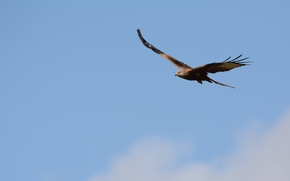 Обои небо, полет, птица, орел