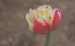 Обои цветы, макро, махровый тюльпан