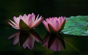 Обои кувшинки, листья, водоем, лепестки, вода, цветение, бутоны, капли