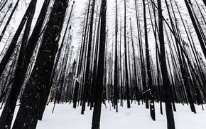 Картинка winter, snow, canada, aftermath, burn, ontario, forest fire, timmins, burnt trees