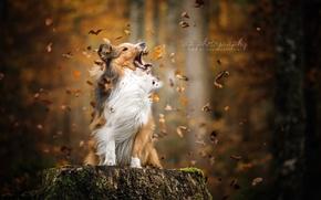 Обои листья, осень, собака