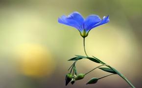 Картинка цветок, голубой, лен, бутоны