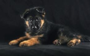 Картинка щенок, овчарка, немецкая