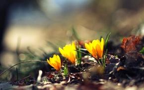 Картинка зелень, цветок, цветы, желтый, фон, обои, размытие, wallpaper, цветочки, широкоформатные, flowers, background, боке, полноэкранные, HD …