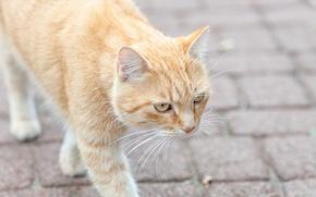 Картинка кошка, кот, рыжий, мостовая, идет