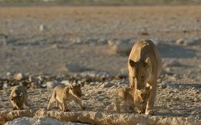 Обои котята, малыши, львы, львята, львица, материнство, детёныши