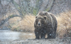 Картинка снег, медведь, Камчатка