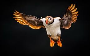 Картинка фон, птица, пуфин