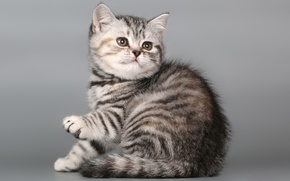 Картинка Британская короткошерстная, котенок, кошечка, кот