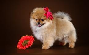 Картинка цветок, щенок, бант, шпиц