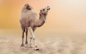 Картинка песок, пустыня, боке, Верблюд