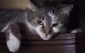 Обои взгляд, кошак, лапка, глаза, кот