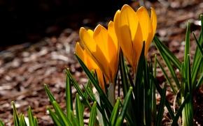 Картинка трава, макро, весна, желтые, лепестки, крокусы, yellow, spring, petals, Crocuses