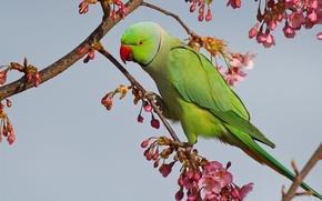 Картинка ветки, птица, сакура, попугай, цветение, Индийский кольчатый попугай, Ожереловый попугай Крамера