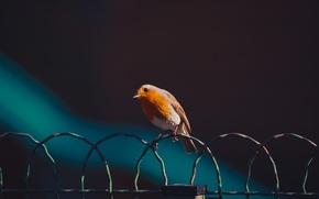 Картинка фон, проволока, птичка, робин