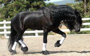 Обои конь, лошадь, жеребец, фриз
