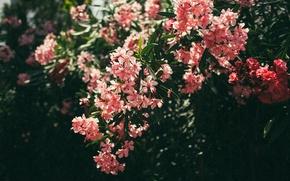 Картинка цветы, розовые, олеандр
