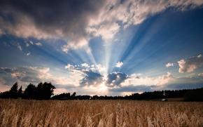 Картинка пшеница, поле, небо, листья, солнце, облака, деревья, природа, фон, дерево, widescreen, обои, рожь, wallpaper, колосья, …