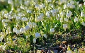 Обои весна, первоцвет, белоцветник