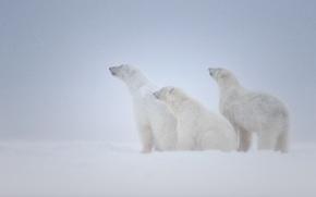 Картинка снег, семья, медведи, три, белые, вьюга