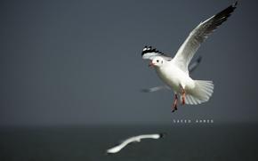 Картинка птицы, природа, птица, чайка, полёт