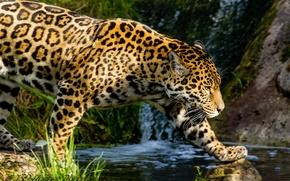 Картинка хищник, ручей, прогулка, ягуар, профиль, дикая кошка, пятна