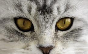 Картинка кот, глаза, мордочка, носик, взгляд, кошка