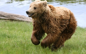 Обои медведь, трава, река