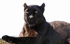 Картинка кошка, тень, пантера, леопард, ©Tambako The Jaguar