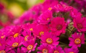 Обои цветы, яркие, розовые, хризантемы, много